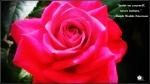 rose wp