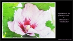 watercolour rose of sharon wallpaper