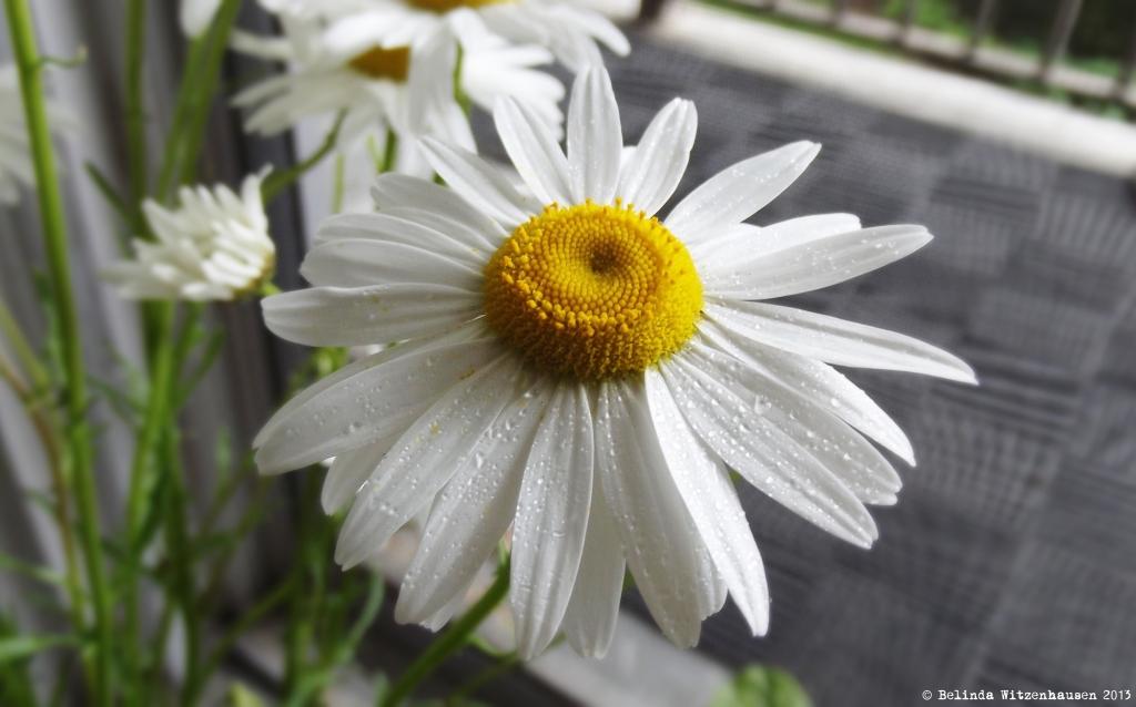 Daisy (2)