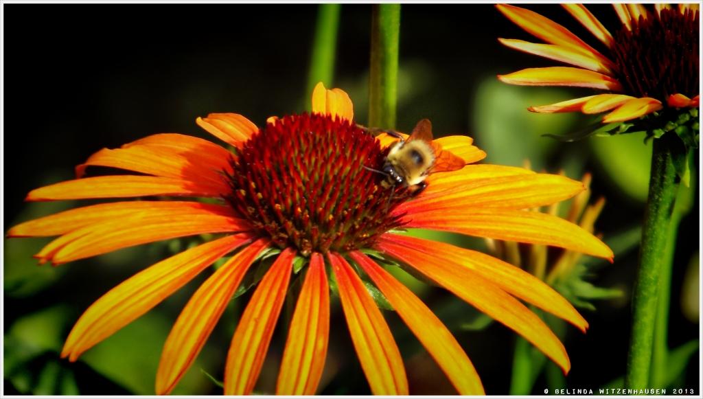 Flame Echinacea