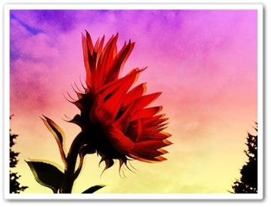 "Sunflower Sunset 20.25 x 15"""" iPhoneography $335"