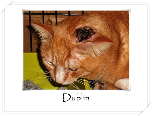 Dublin ~ Orange Tabby